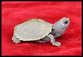 Baby Leucistic Map Turtles
