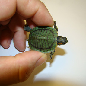 Rare Strip Baby Red Ear Slider Turtles for sale here.