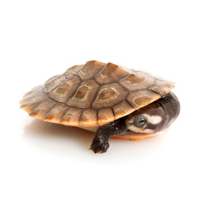 Order Your B Grade Pink Belly Side Neck Turtle Today!