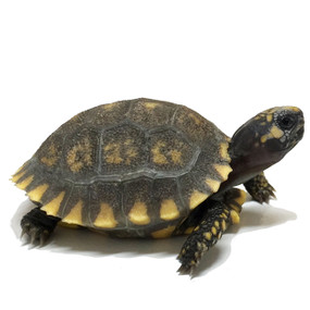 We sell baby yellow footed tortoises