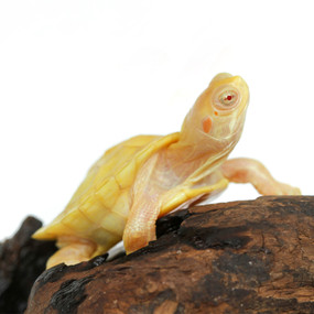 Baby Albino Red Ear Slider Turtle