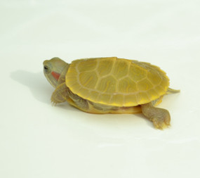 Baby Lemon Lime Crush Red Ear Slider Turtle