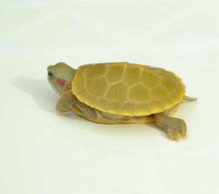 Baby Lemon Lime Crush Red Ear Slider Turtle
