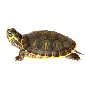 Baby Cumberland Slider Turtle