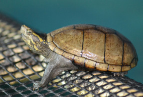 Juvenile Common Mud Turtle