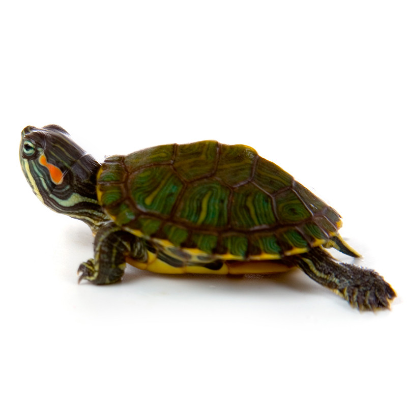 Turtles and Turtle Tank Supplies Baby Turtles for sale Baby Red Ear ...