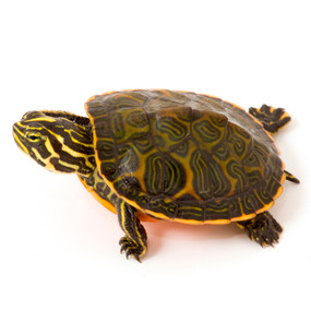 Baby Florida Red-Belly Turtle