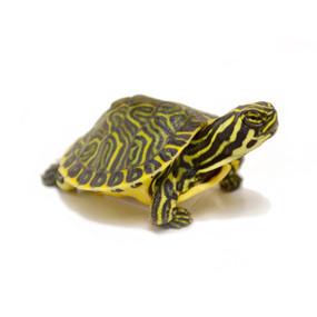 Baby Peninsula Cooter Turtles