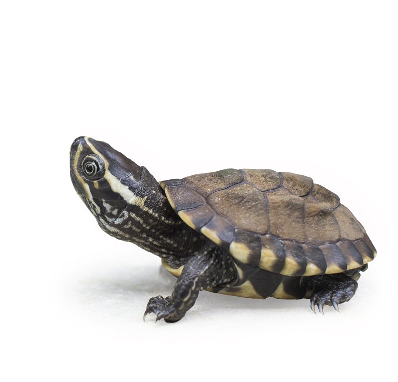 Baby Eastern Musk Turtle Best Prices