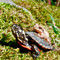 Baby Painted Turtle