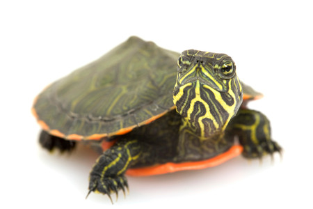 Baby Northern Red-Bellied Turtle