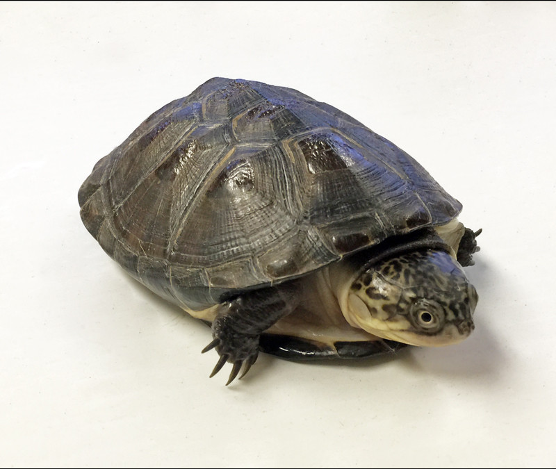 my turtle store baby west african side neck turtle
