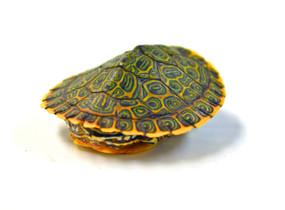 Baby Gorzugi Turtle