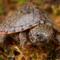 Tiny Razorback Musk Turtle