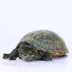 Juvenile Eastern Musk Turtle