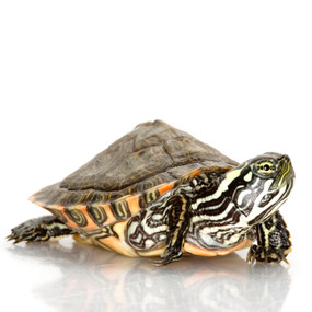 Juvenile Gorzugi Turtles For Sale