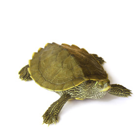 Juvenile Mississippi Map Turtle