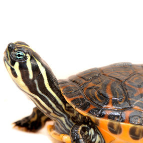 Juvenile Red Bellied Turtle