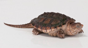 Juvenile Snapping Turtles For Sale
