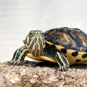 Juvenile Yellow Bellied Turtle