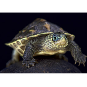 Juvenile Golden Thread Turtles For Sale