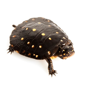 Juvenile Spotted Turtles For Sale