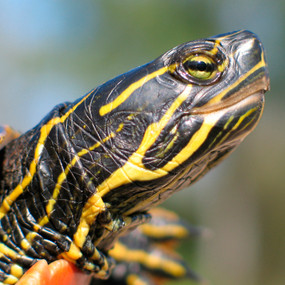 Juvenile Western Painted Turtle