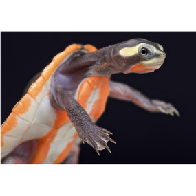 Juvenile Pink Bellied Side Neck Turtle