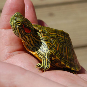 Juvenile Rio Grande Turtles For Sale