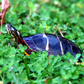 Juvenile Eastern Painted Turtle