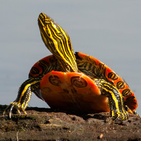 Shop with us for Western Painted turtles.