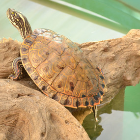 Large Gorzugi Turtles For Sale