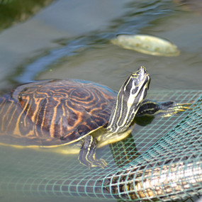 Large Peninsular River Cooter Turtles For Sale