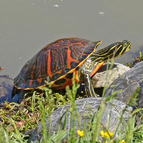 Large Red Bellied Turtles For Sale