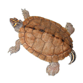 5 Large Mississippi Map Turtles For Sale