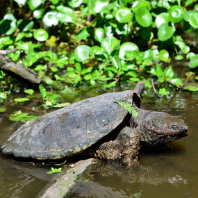 Large Snapping Turtles For Sale