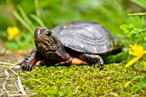 Large Spotted Turtle