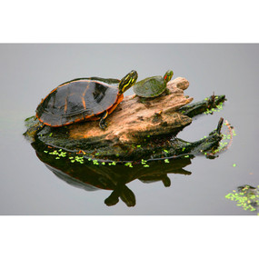 Large Southern Painted Turtle