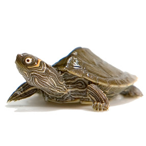 B Grade Baby Mississippi Map Turtle