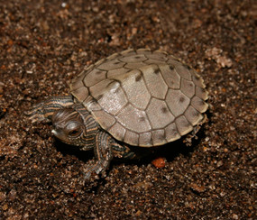 B Grade Baby Ouachita Map Turtle