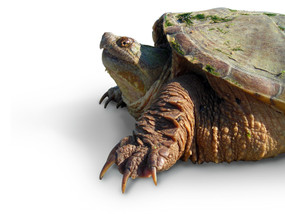 B Grade Large Snapping Turtle