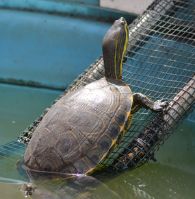 B Grade Extra Large Peacock Slider Turtle