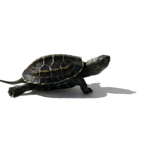 B Grade Baby Reeve's Turtles For Sale