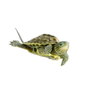 Get your B Grade Golden Thread turtle with us!