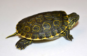 B Grade Baby Mexican Slider Turtles For Sale
