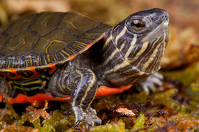 B Grade Baby Western Painted Turtles For Sale