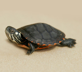 B Grade Baby Eastern Painted Turtles For Sale