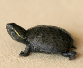 B Grade Baby Eastern Musk Turtles For Sale
