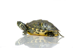B Grade Baby Peninsula Cooter Turtles For Sale