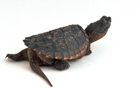 B Grade Baby Common Snapping Turtles For Sale